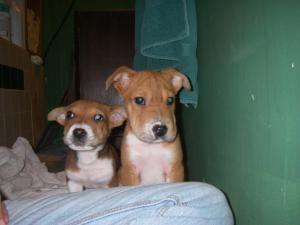 5 6 Wk Old Brothers Corgi Shar Pei Dog Buchanan Dam Tx Shar Pei Dog Animals Pup