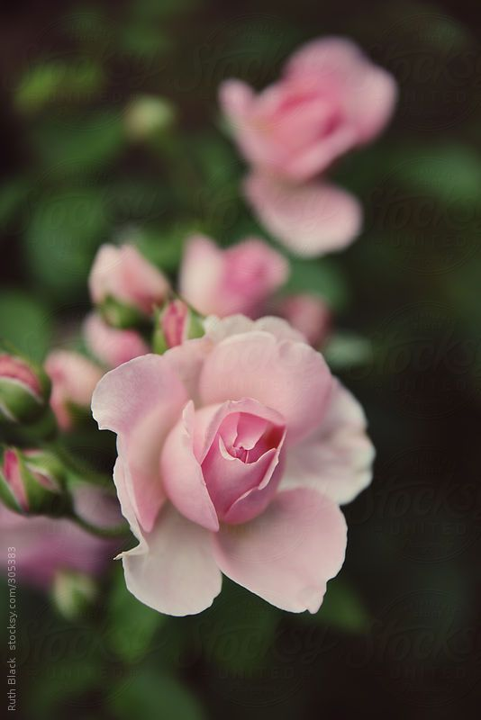 Pink roses by Ruth Black   Stocksy United   Royalty Free Stock Photos. Pink roses by Ruth Black   Stocksy United   Royalty Free Stock