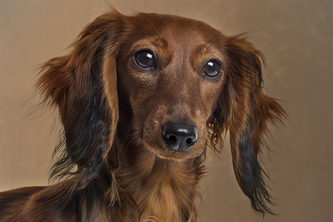 Dachshund Dog Breed Information Pictures Characteristics Facts