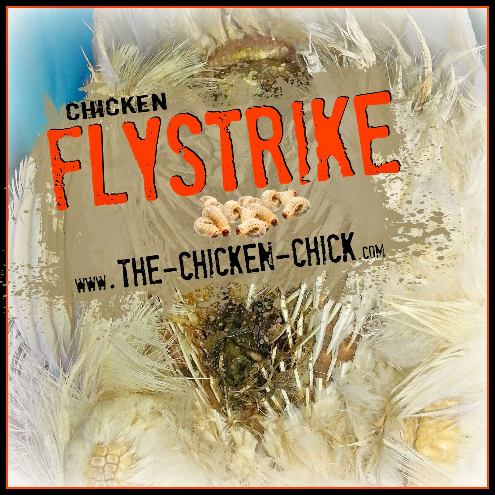 flystrike in backyard chickens causes prevention u0026 treatment