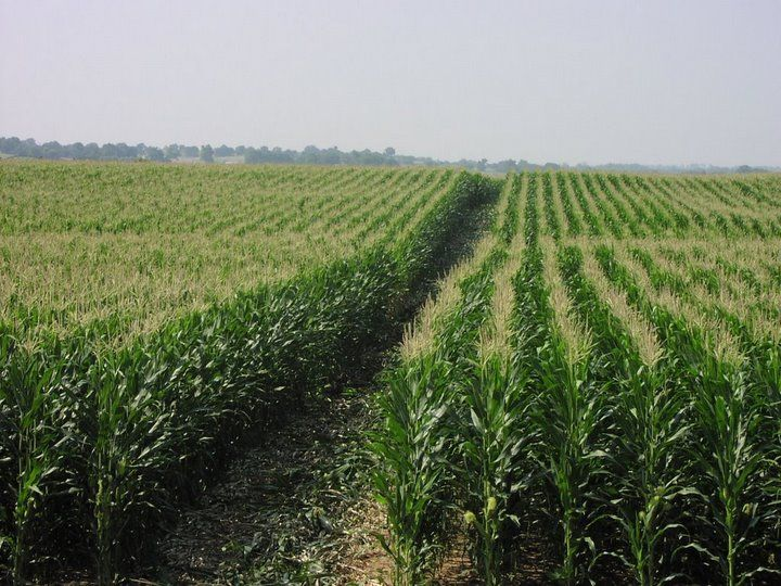 corn field - bing outdoors