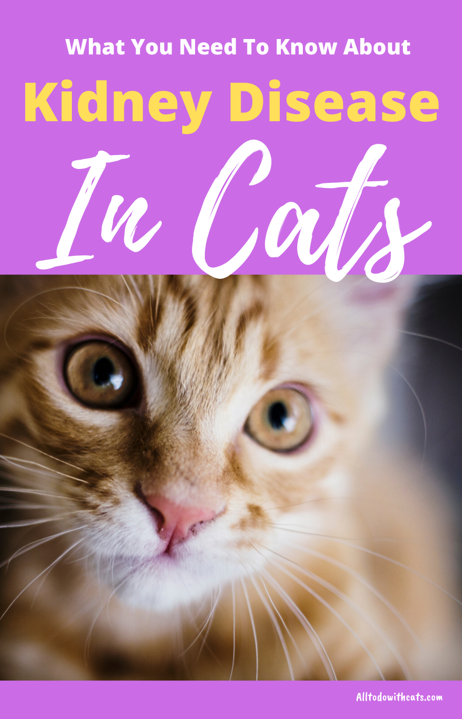 Kidney Disease Symptoms In Cats What You Need ToKnow