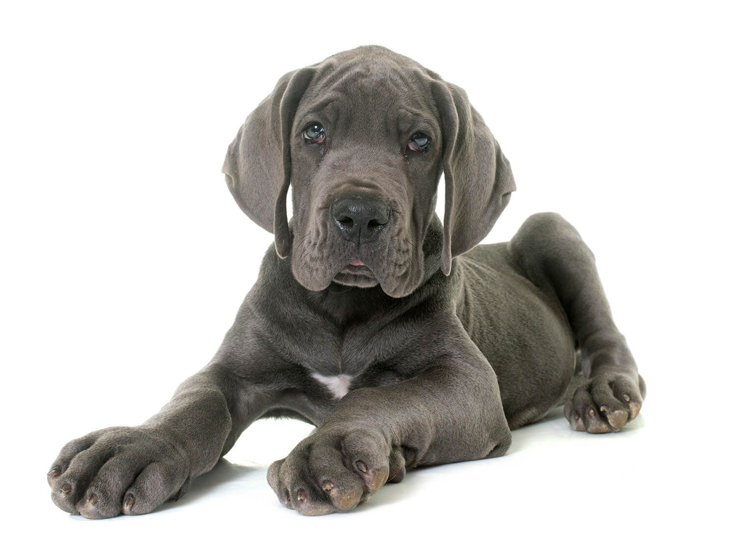 Adorable Great Dane Dane Puppies Great Dane Puppy Relaxed Dog
