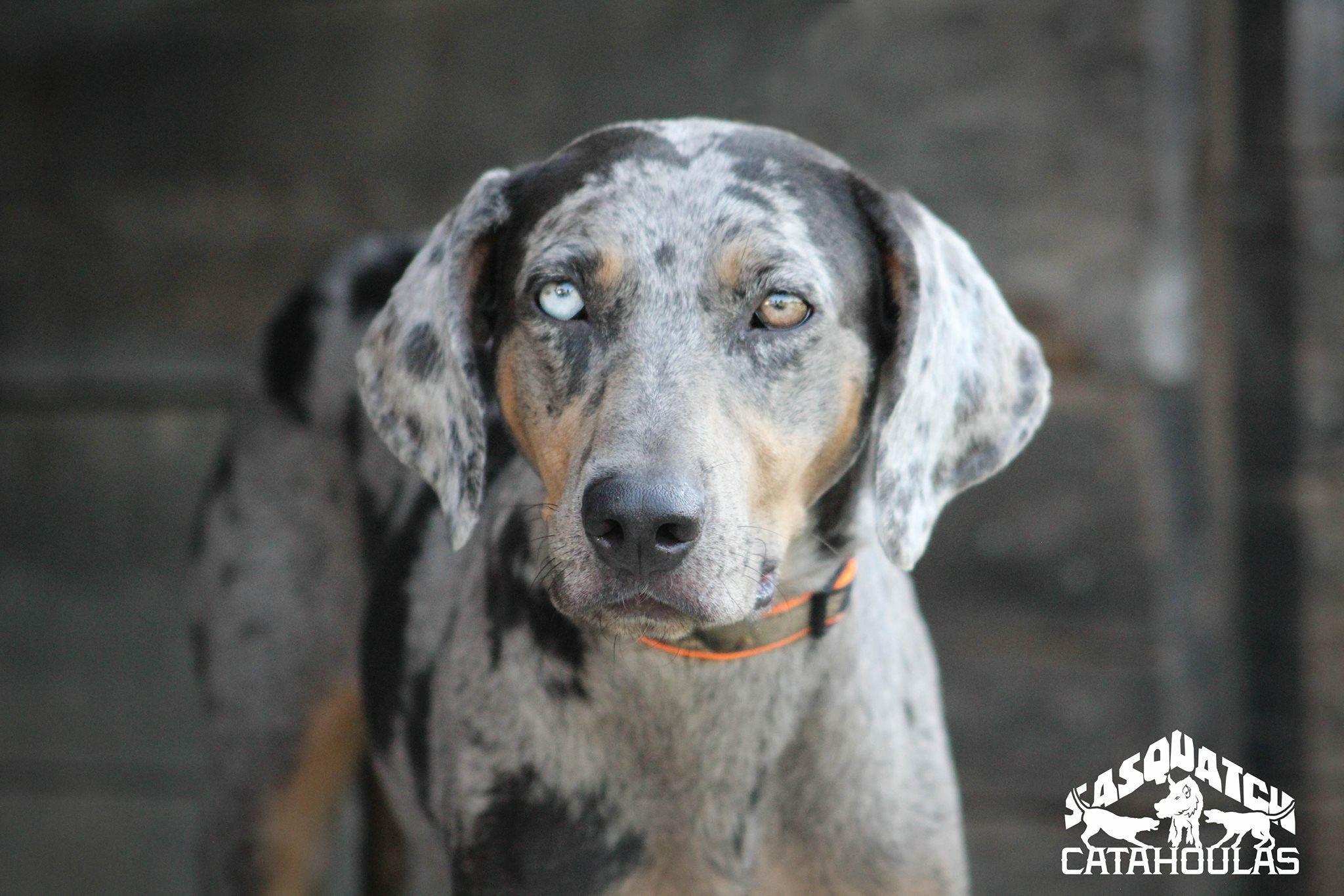 Wynter Silver Leopard Catahoula Leopard Dog Sasquatch Puppies