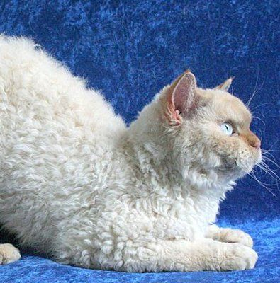 New Cat Breed Looks Like Sheep Cat Breeds Curly Cat Pretty Cats