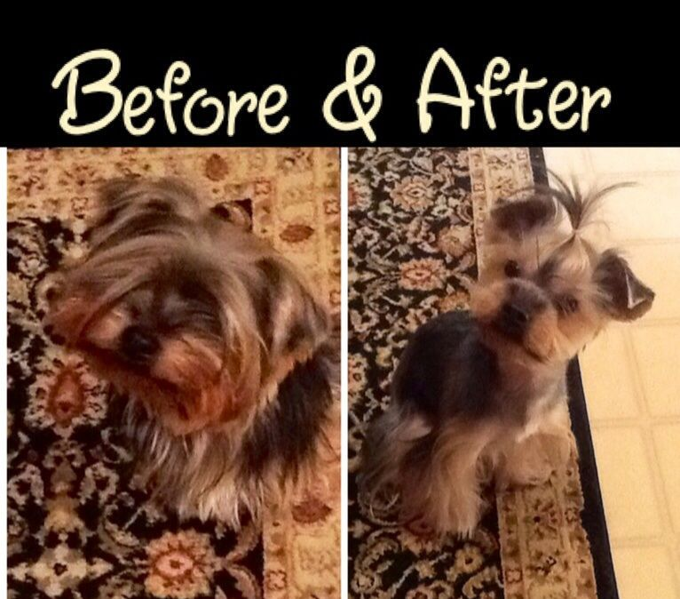 Yorkie Haircut Before After Yorkie Haircuts Yorkie Yorkshire