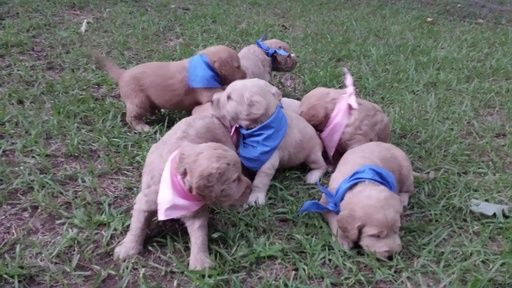 Labradoodle Puppy For Sale In Winston Salem Nc Adn 34111 On