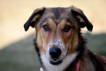 Bendi Is A 9 Mo Old Smooth Collie Currently Available For