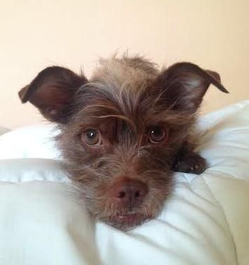 Adopt Wily On Cairn Terrier Pets Terrier