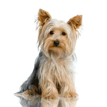 Yorkshire Terriers Yorkie Dogs Yorkshire Terrier Dog Yorkshire