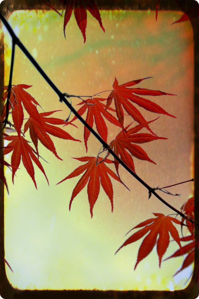 Japanese Maple, MA,2011