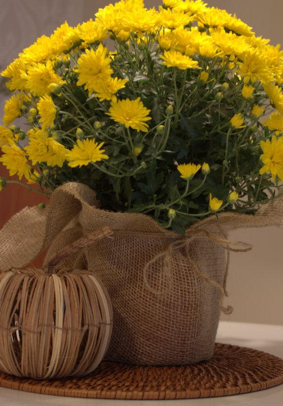 Simple Effect Burlap Wrapped Fall Mums In 2019 Fall