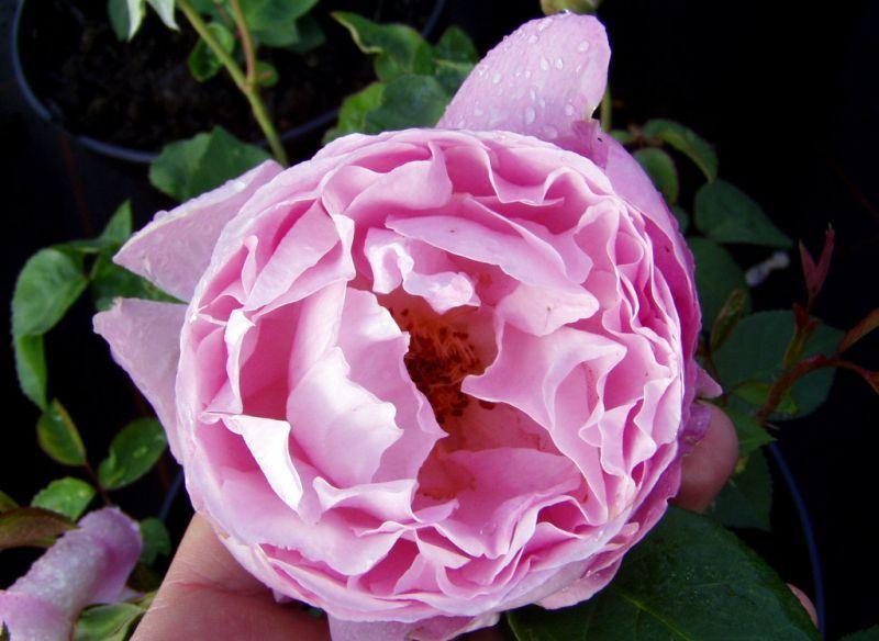 Englische Rose Mary Rose ® Ausmary ® Züchter David Austin 1983