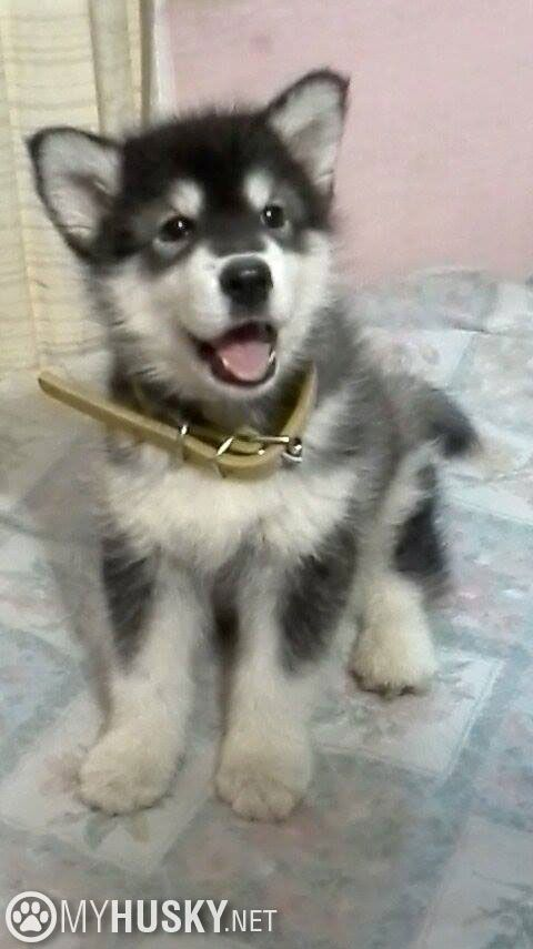 Pin By Kailee Leadingham On Pets Husky Husky Puppy