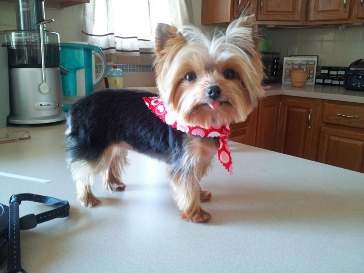 Smallest Working Dog In The World Packs A Big Punch Yorkie Terrier Yorkie Puppy Yorkie Dogs