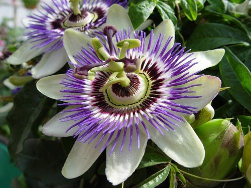Passiflora Passion Flower My Mother Had A Vine And It Did Well Here In Sacramento Very Beautiful Showy Flowe Passion Fruit Flower Passion Vine Passion Flower