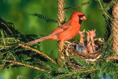 Information On The Cardinal Bird Birds Backyard Birds Baby