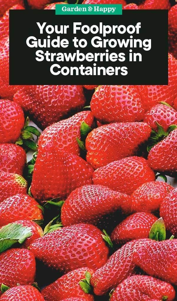 A Foolproof Guide to Growing Strawberries in Containers - Garden and Happy #growingstrawberriesincontainers