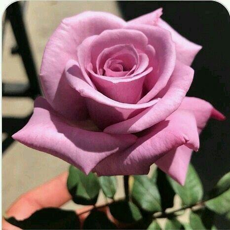 Nomi Fiori Rosa.Immagine Di Oneshottattoo Studio Su Fiori Fiori Rosa Fiori