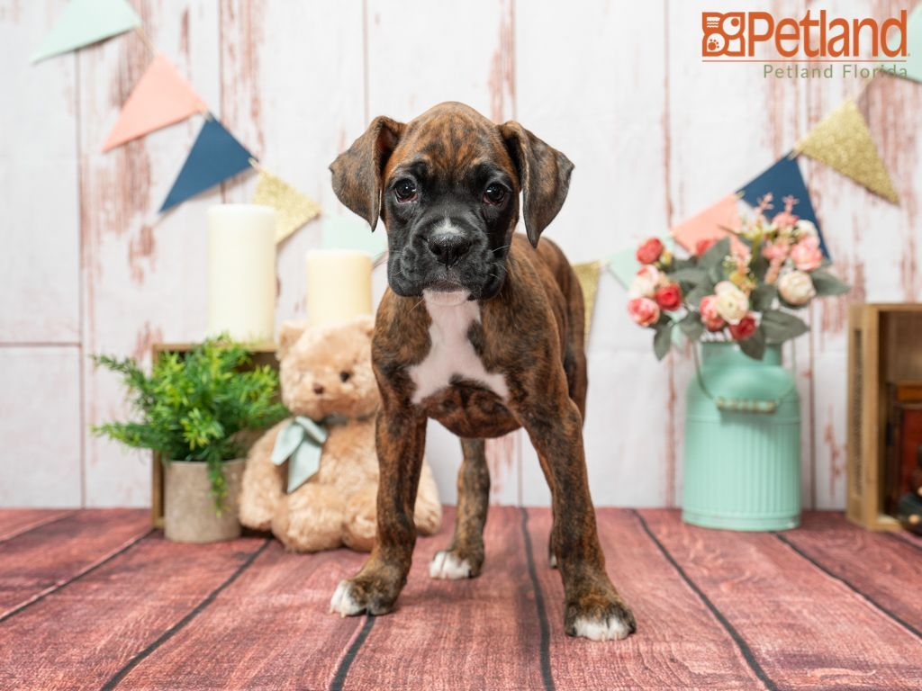 Puppies For Sale In 2020 Puppies For Sale Puppy Friends Boxer Puppies For Sale