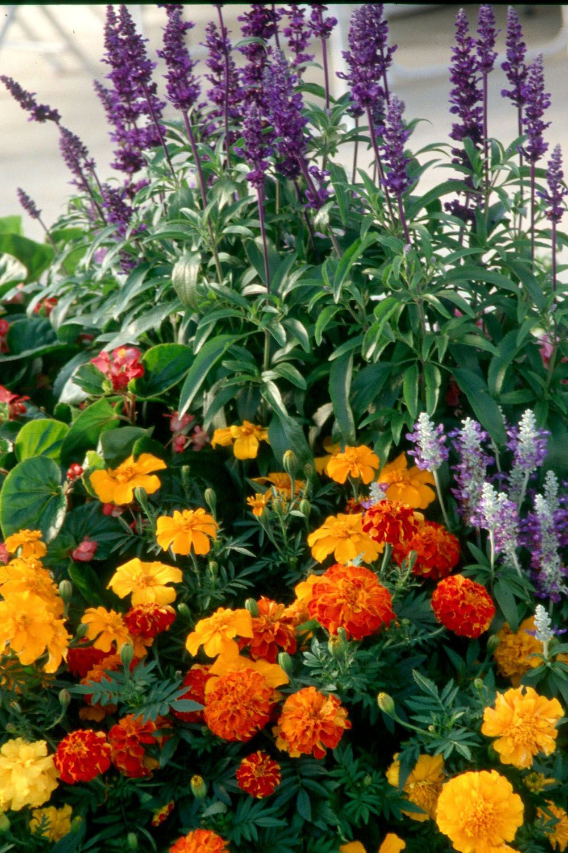 Marigolds With Salvia Indigo Spires Mosquito Repelling Plants