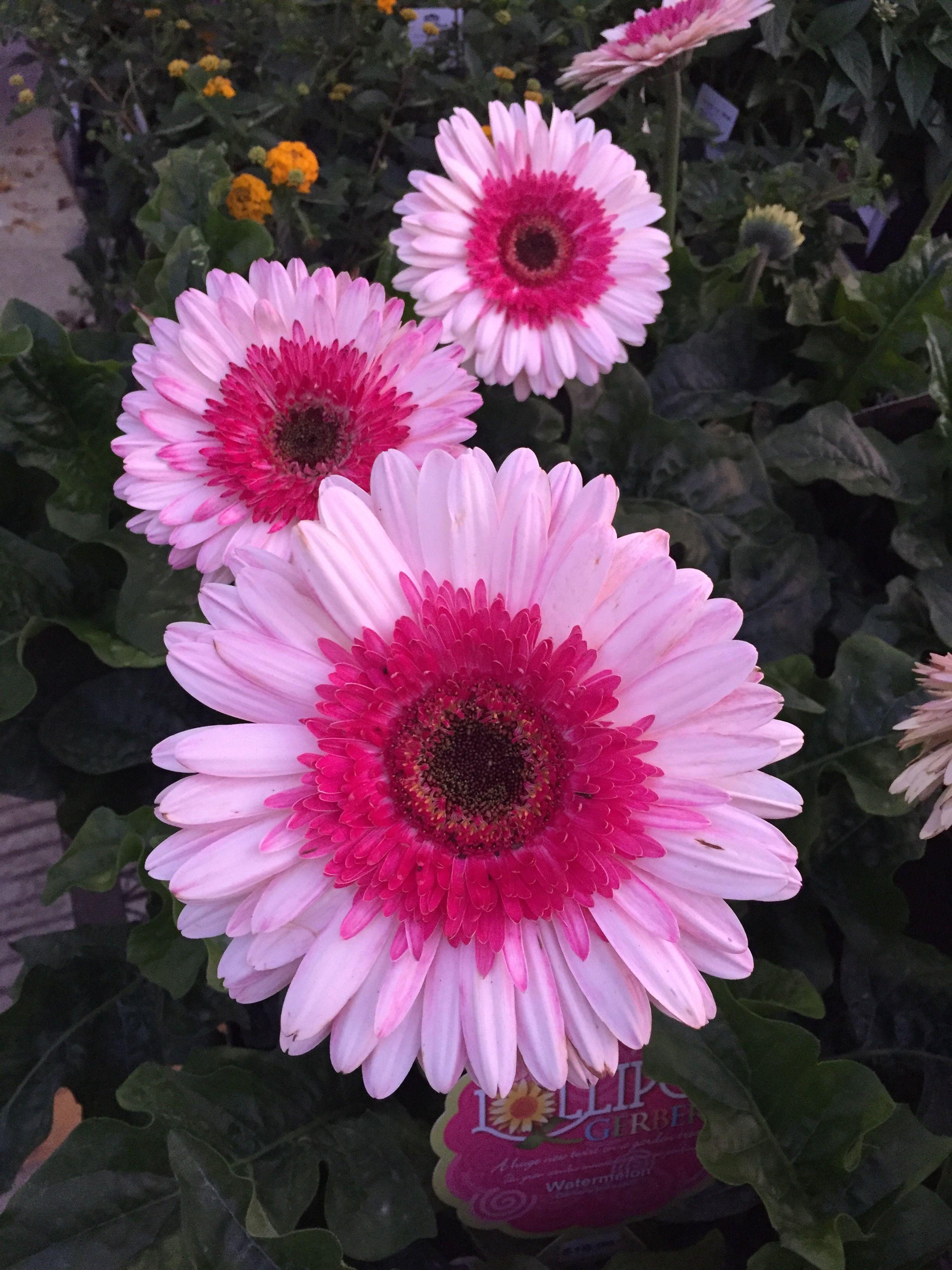 Gerbera Daisies Gerbera Daisy Daisy Flower Beautiful Flowers