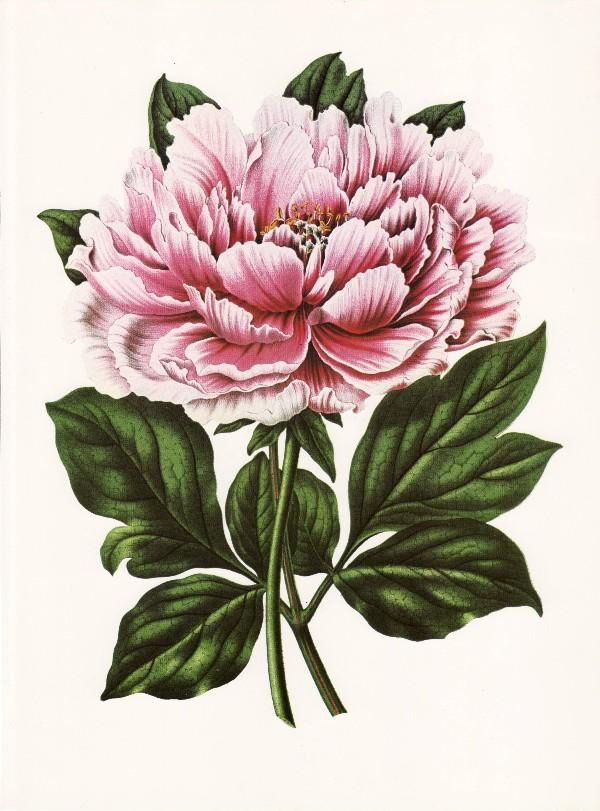 Victorian Floral Illustration