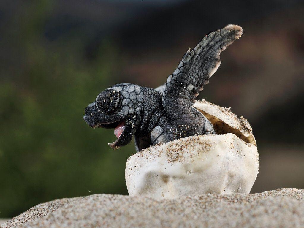 Cute baby turtle hatching!! Turtle hatching, Turtle