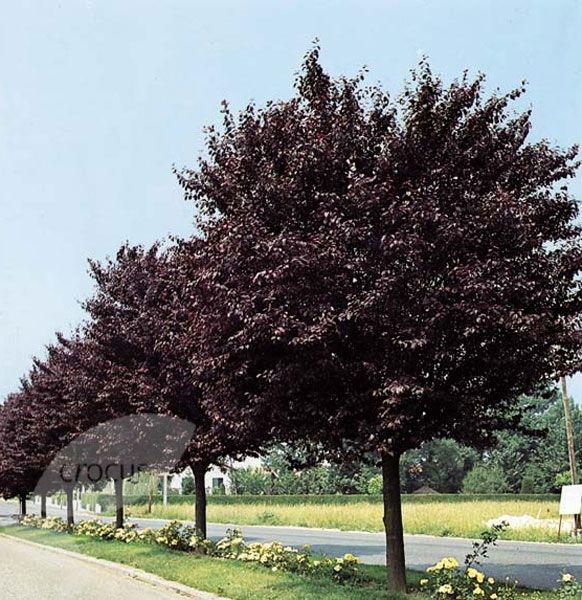 Photos For Best Rate Landscape Design: Prunus Cerasifera 'Nigra'