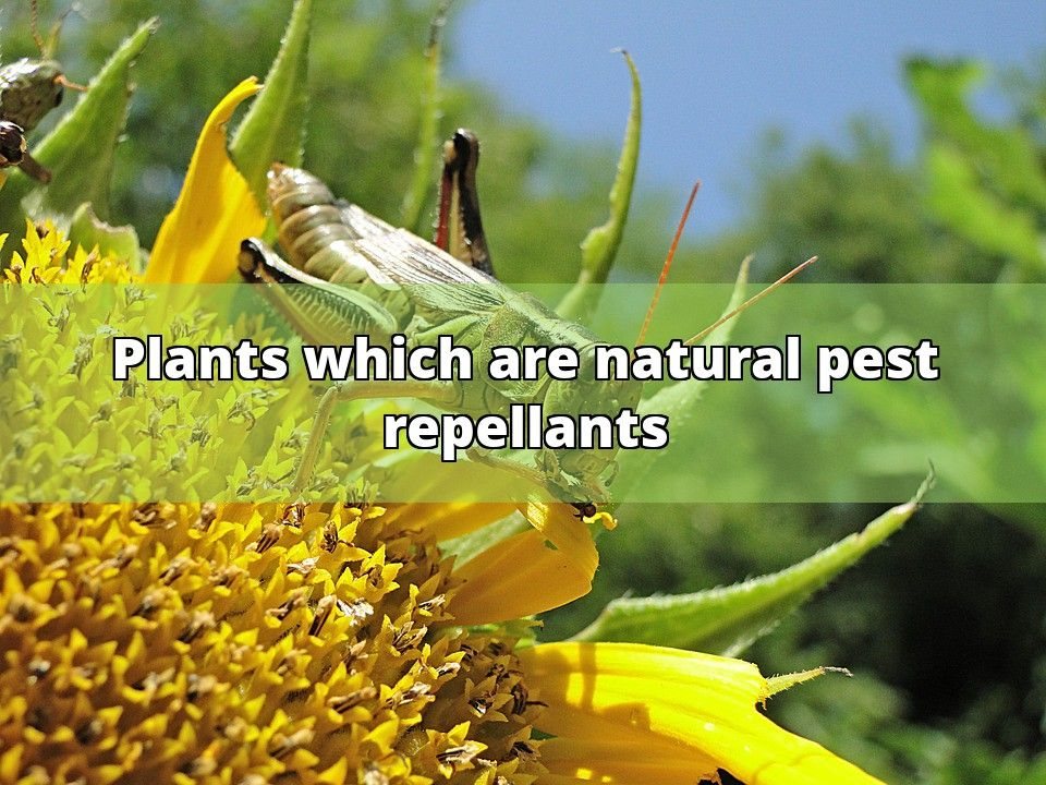 Mother Nature has a wonderful way of balancing things out. And as avid, capable gardeners, we can take advantage of some of the natural balancing tools she has given us. Take mosquitoes for instance. Anyone who is driven inside regularly at twilight, or has been unable to enjoy a nice midnight barbecue,... - #plants #pest #garlic #garden #lemon #mosquitoes #outdoor