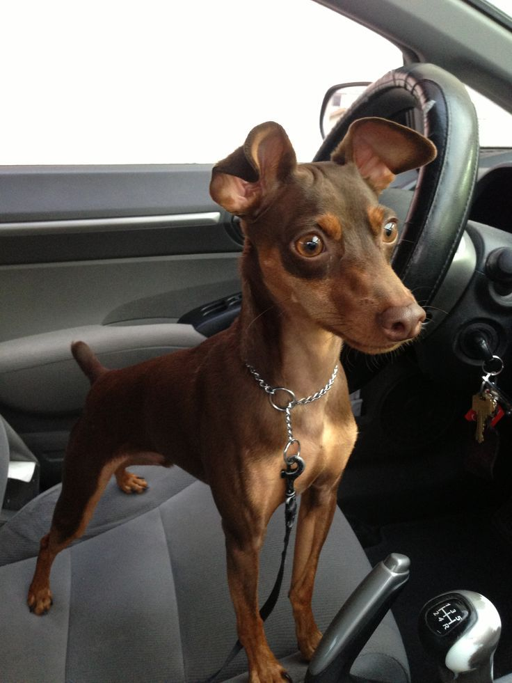 Brown Min Pin Chocolate And Tan Miniature Pinscher Chocolate And