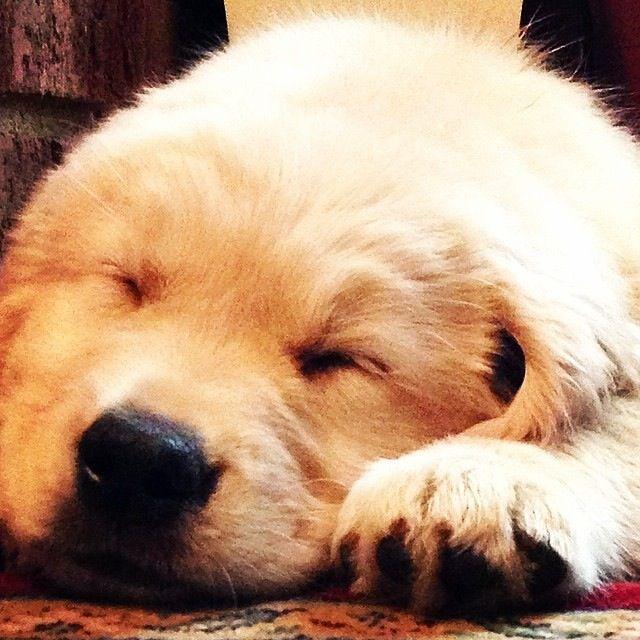 Dallas Golden Retriever 10 Weeks Old Good Puppy Sleeping Puppy