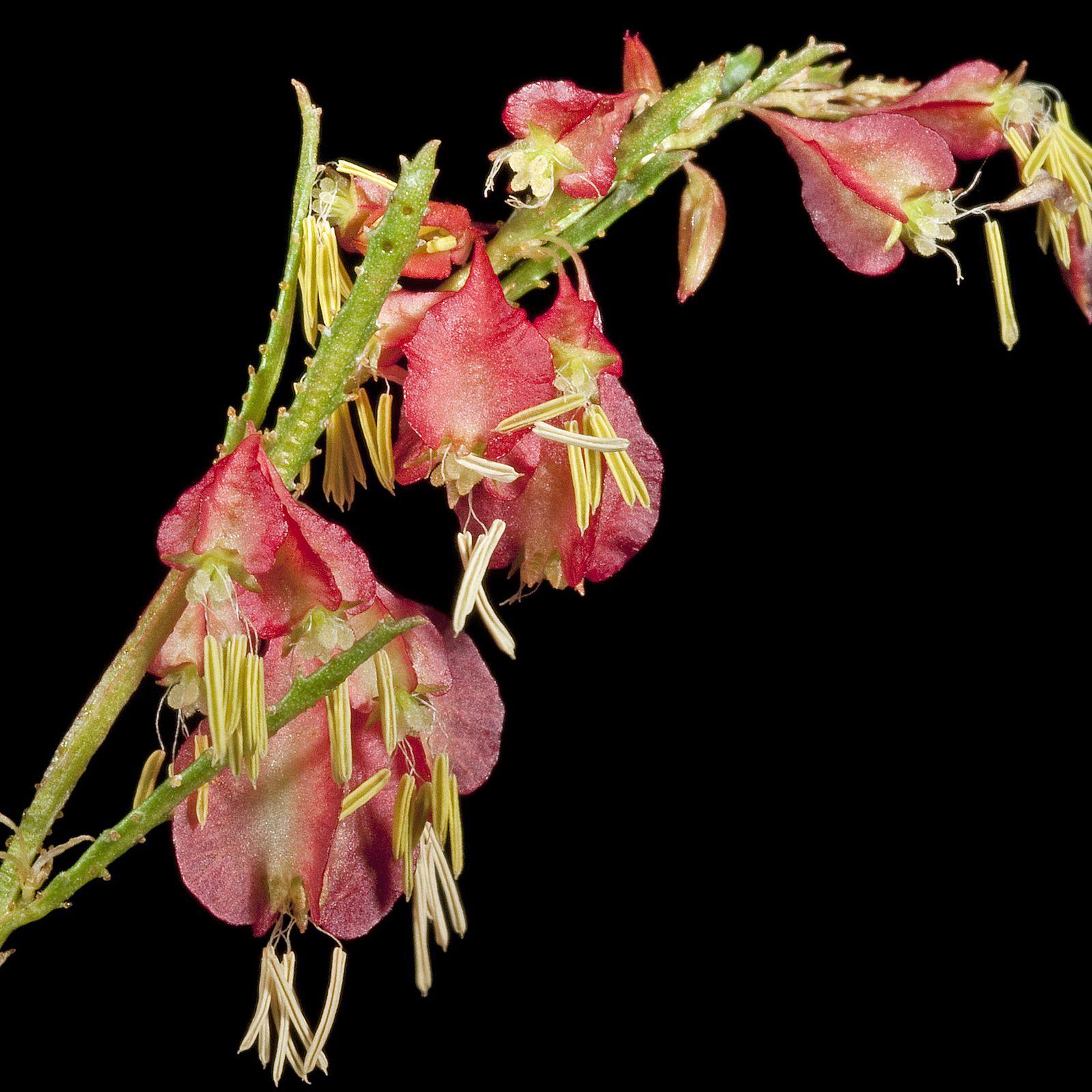 HALORAGODENDRON glandulosum Herb seeds, Flowers, Plants