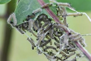 Milkweed Tussock Moth Caterpillars Euchaetes Egle Moth Milkweed Moth Caterpillar