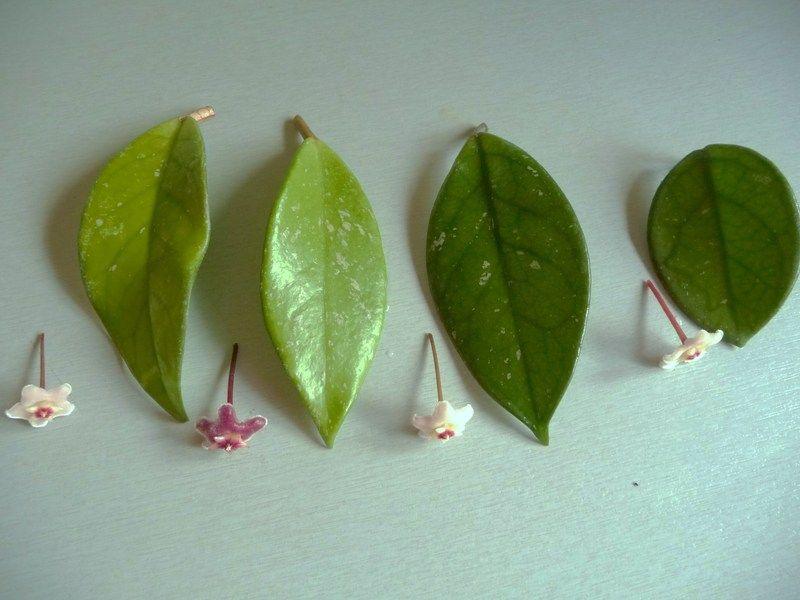 Hooked On Hoya Cubit: Identification Forum: U0027Little Leafu0027 : Pubicalyx Or  Carnosa · House PlantsIndoor ...