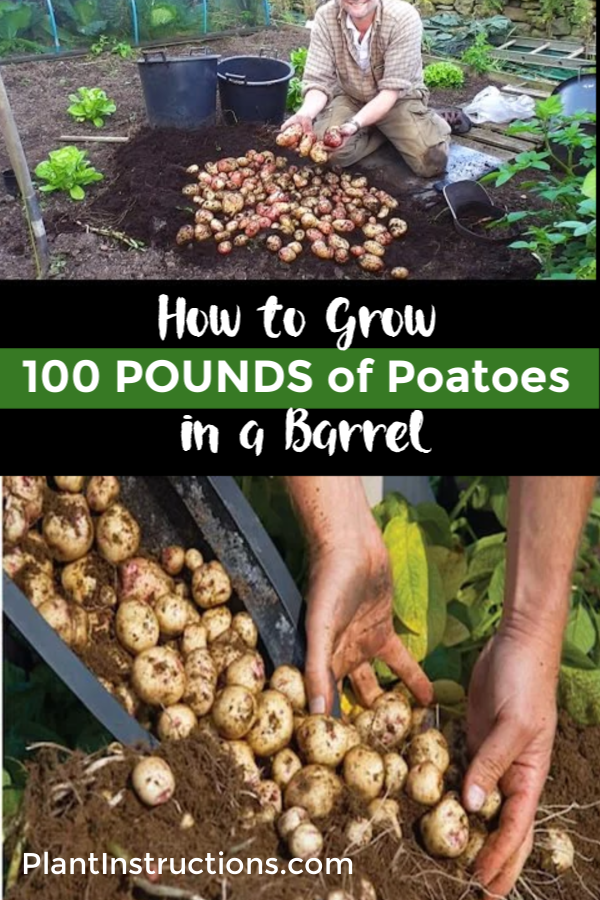 How to Grow a Hundred Pounds of Potatoes in a Pot #growingpotatoes