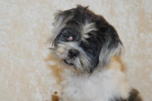 Adopt Jolly Kaplan On Shih Tzu Dog Small Dog Breeds Adoption