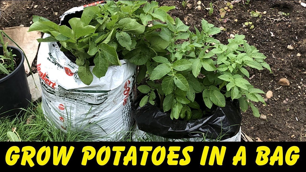 How to grow potatoes in a bag (how to plant potatoes