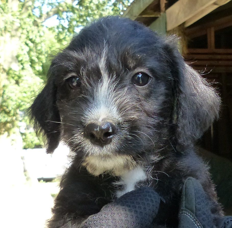 Irish Doodle Puppies For Sale In Michigan