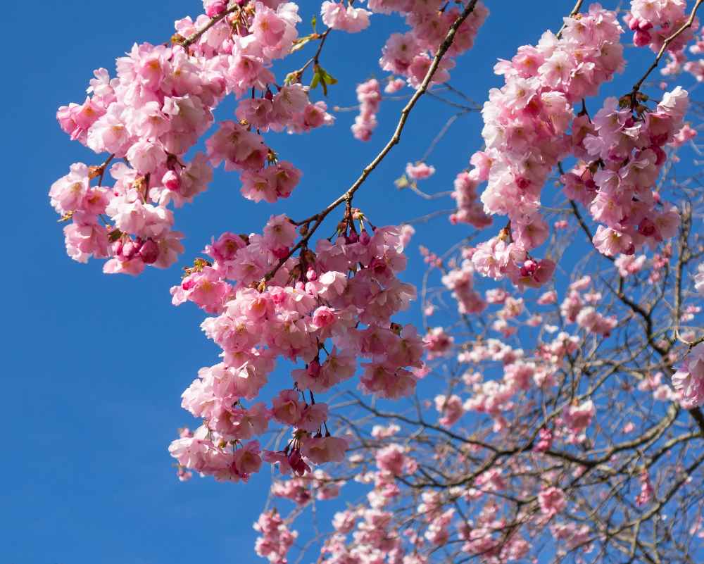 Double Cherry Blossom Tree Google Search Cherry Blossom Tree Life He Is Able