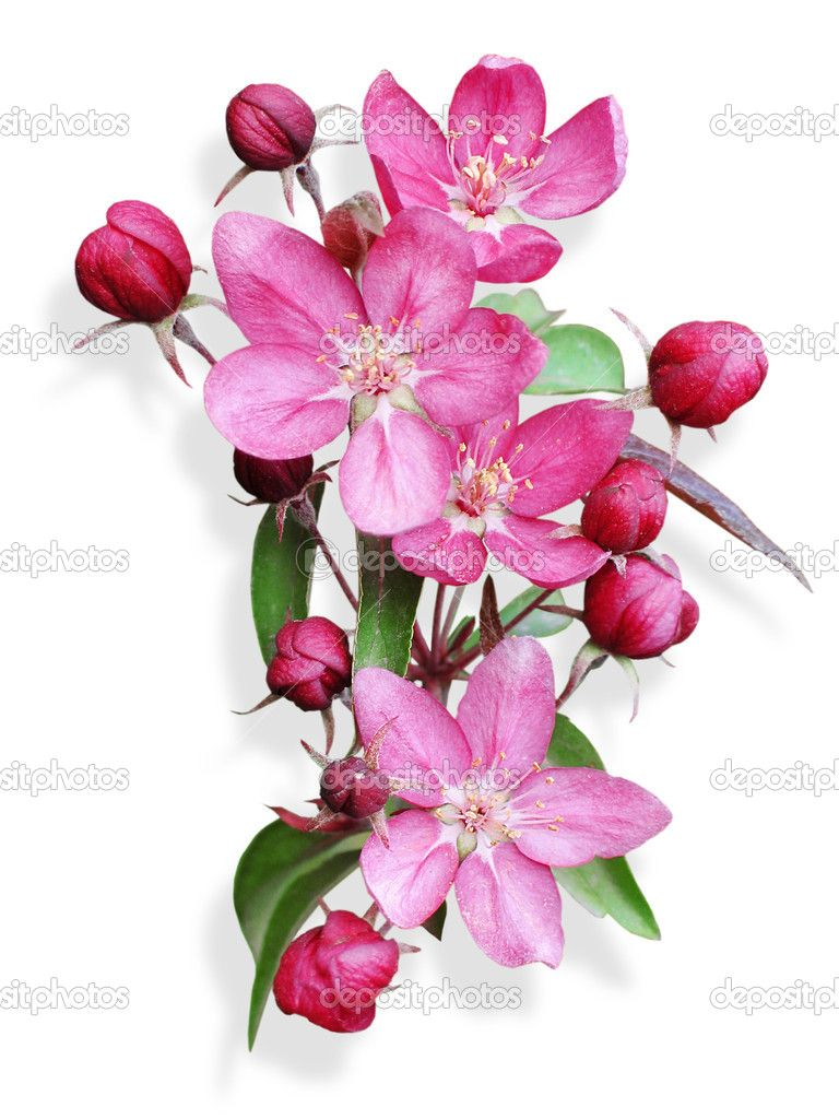 Pink apple blossom isolated — Stock Photo © nemolovskaja #5197954 ...