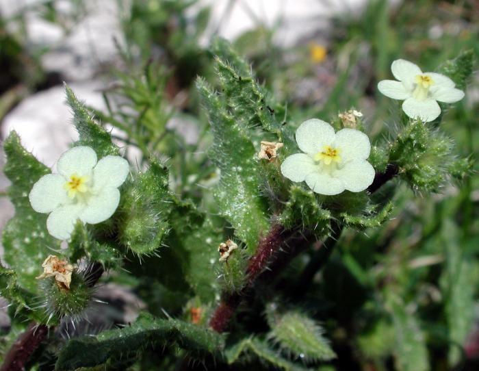 Anchusa aegyptiaca - Aegyptian Bugloss