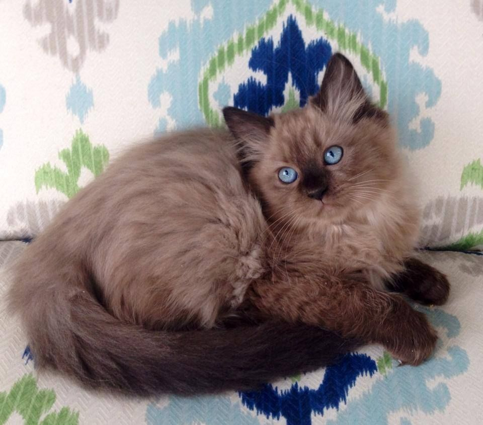 Ragdoll Cats In Many Colors And Patterns Jamila S Ragdolls Ragdoll Kitten Ragdoll Cat Colors Pretty Cats