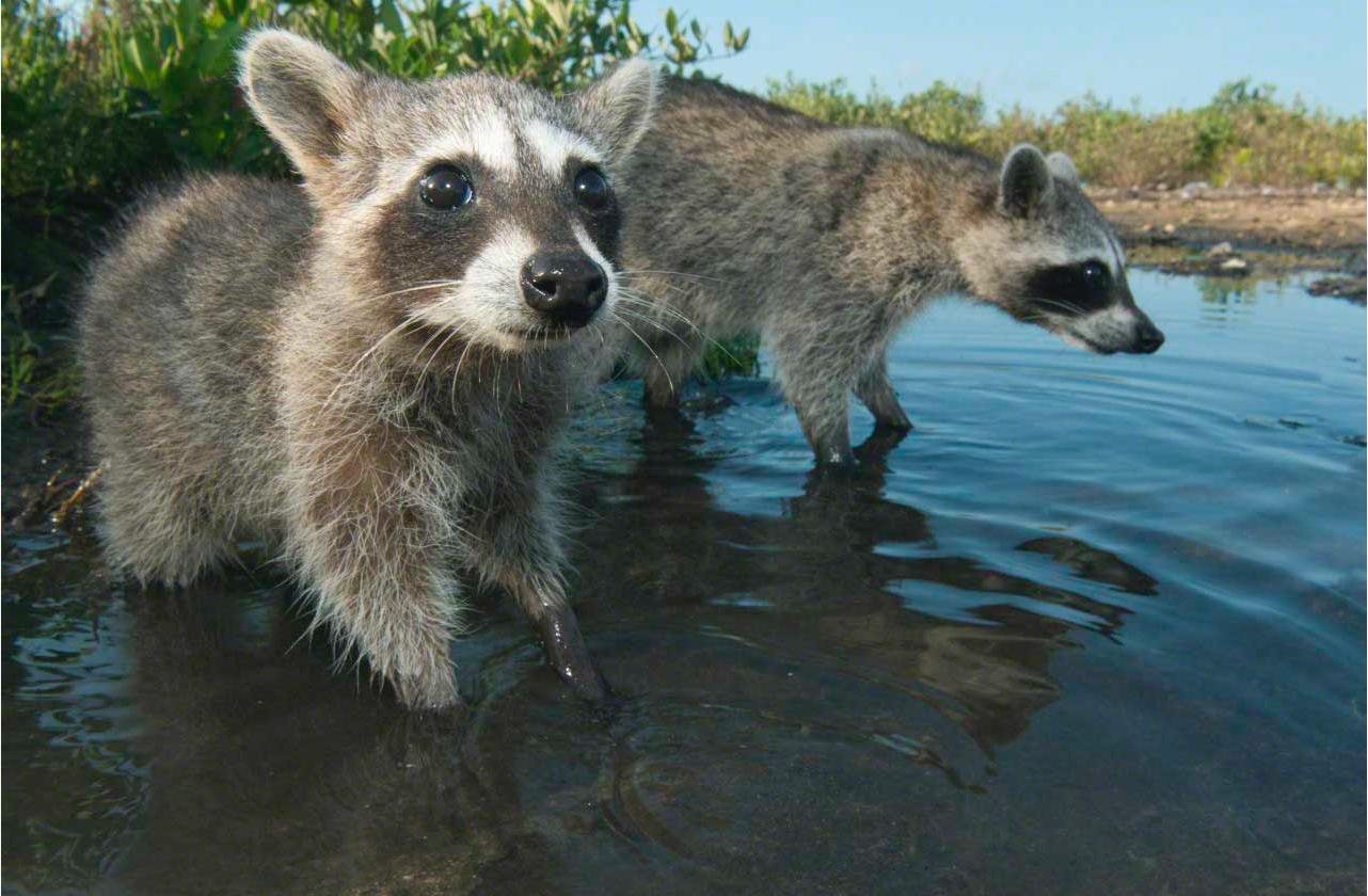 raccoon river outdoors pinterest raccoons