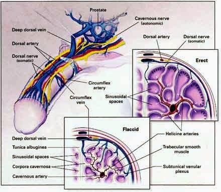 Human&Animal Anatomy and Physiology Diagrams: Penis veins and ...