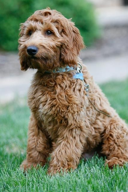 Goldendoodle Puppies Autism Therapy Dogs Farmer Doodles One Of