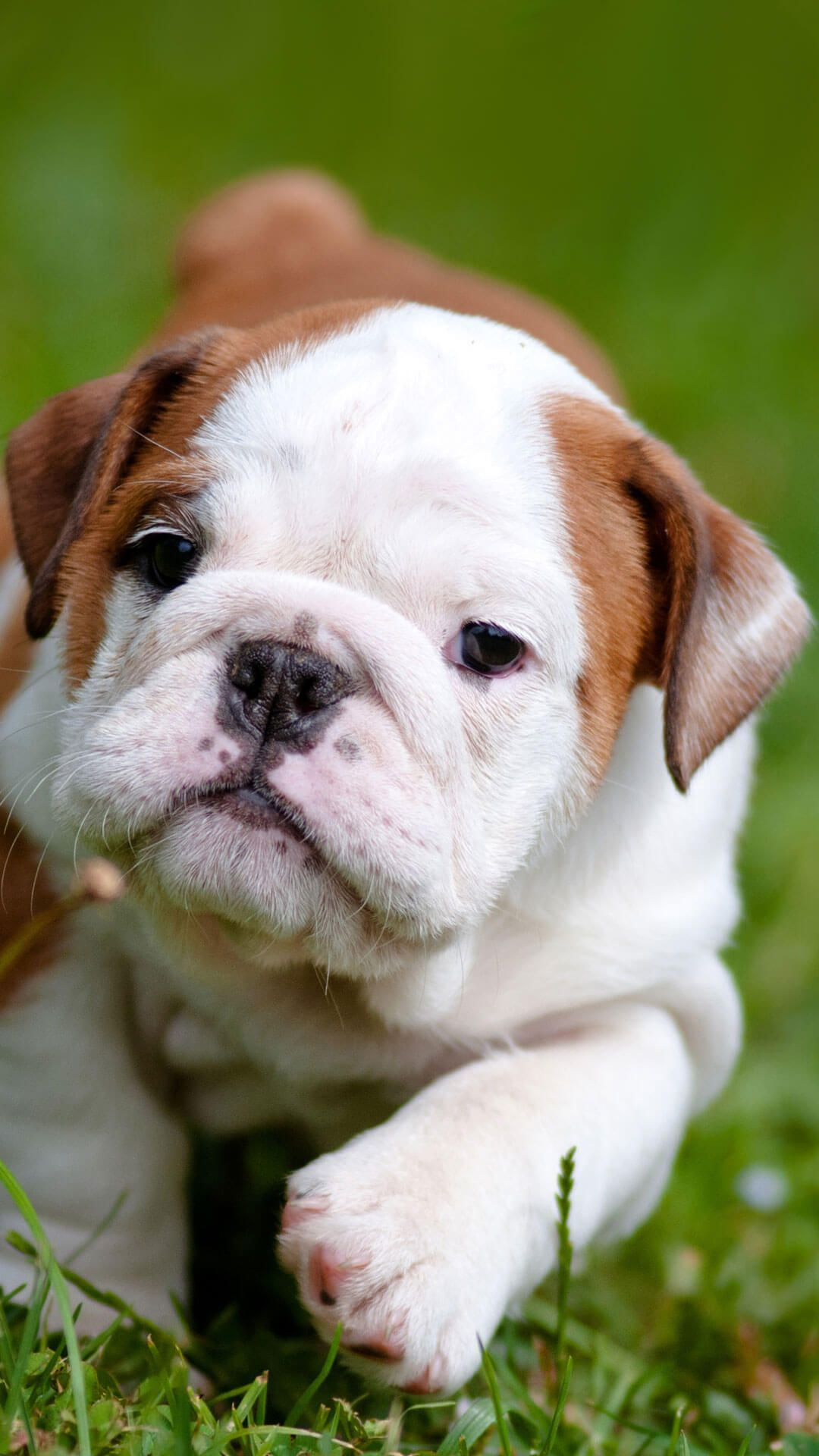 70 Cute Bulldog Puppies Wallpapers Download At Wallpaperbro