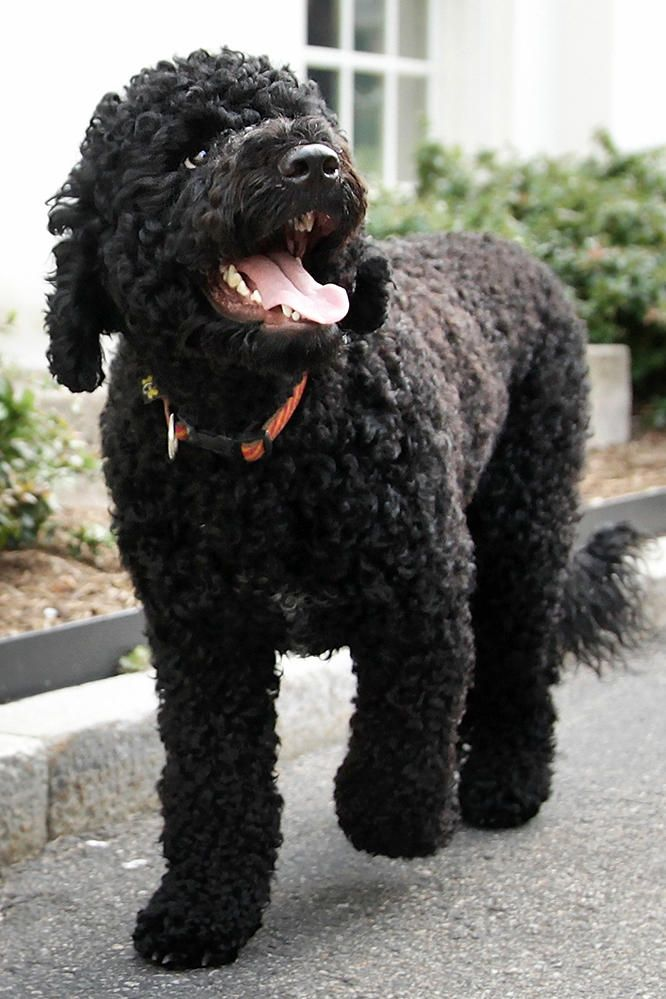 Tlc Official Site Portugese Water Dogs Portuguese Water Dog Family Dogs Breeds