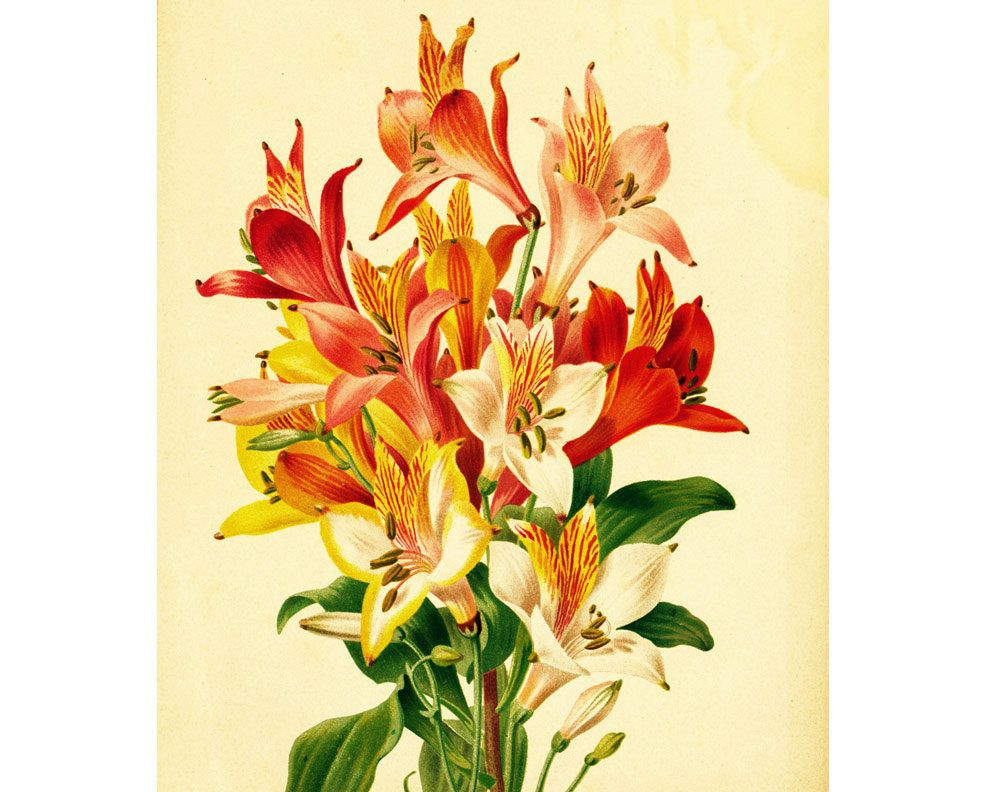 1881 Original Antique Peruvian lily Print, Botanical ...