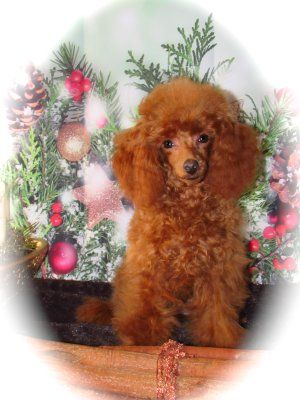 Teacup Poodle Kaufen
